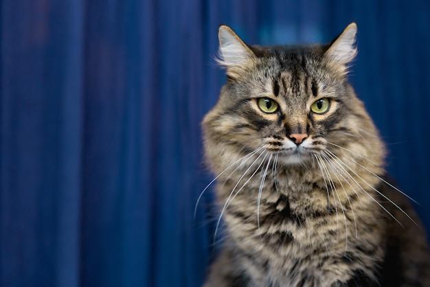 美しいぶち飼い猫が家に座っている、青い背景。かわいい愛らしいペットの猫