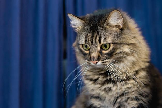 美しいぶち飼い猫は家に座って、見下ろし、青い背景。かわいい愛らしい猫