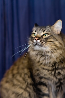 美しいぶち猫は家に座って、目を細め、青い背景。かわいい愛らしい猫