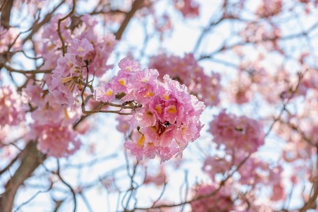 Beautiful tabebuia rosea tree and rosy trumpet tree pink flower