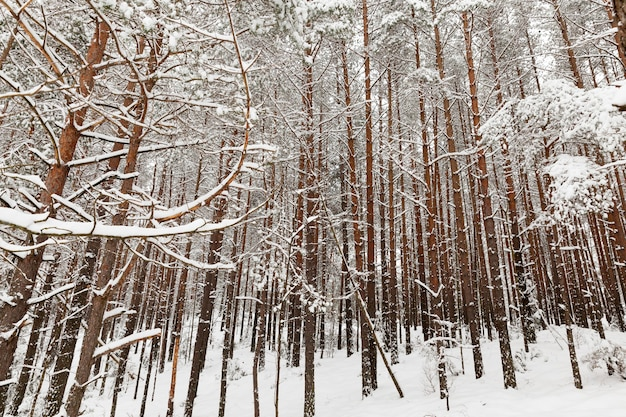 Beautiful tall mature trees in winter covered with snow in frosty weather