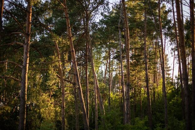 Bellissimi e alti alberi nella foresta che brillano sotto il cielo blu