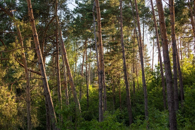 Beautiful and tall trees in the forest gleaming under the blue sky