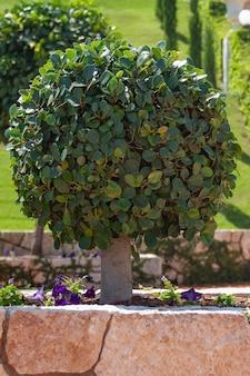 Красивое мандариновое дерево в саду бахаи в хайфе в израиле