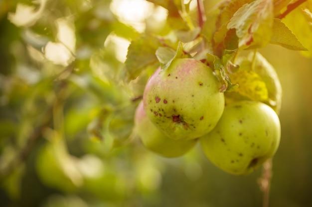 Beautiful tasty fresh apples on tree toning