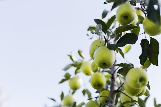 外の庭で果樹園の秋の収穫のリンゴの木の枝に美しいおいしい青リンゴ