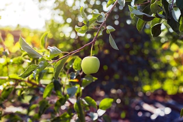 果樹園のリンゴの木の枝に美しいおいしい青リンゴ。ガーデンビレッジでの秋の収穫