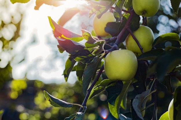 果樹園のリンゴの木の枝に美しいおいしい青リンゴ。