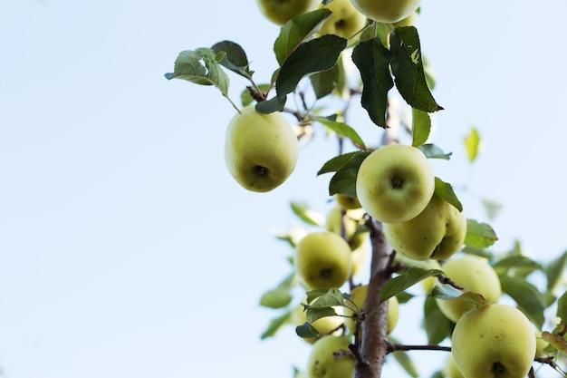 空を背景に果樹園のリンゴの木の枝に美しいおいしい青リンゴ。秋の収穫