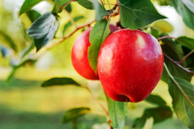 Beautiful tasty red apple on branch of apple tree in orchard. autumn harvest in garden