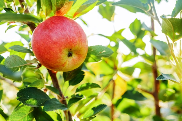 Beautiful tasty red apple on branch of apple tree in orchard, harvesting. autumn in garden outside