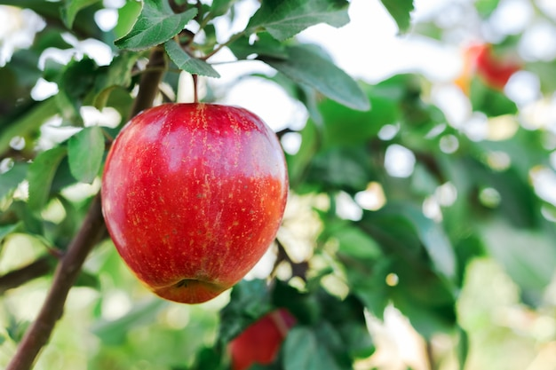 Beautiful tasty red apple on branch of apple tree in orchard, harvesting.