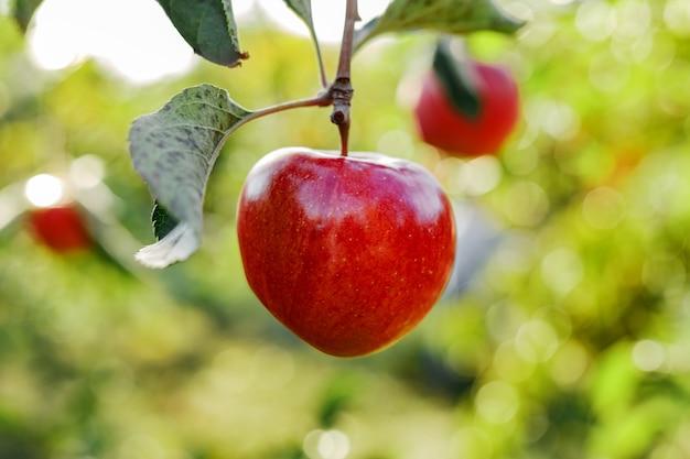 果樹園のリンゴの木の枝に美しいおいしい赤いリンゴ。外の庭で秋の収穫