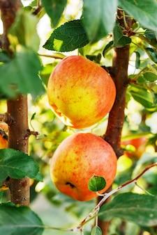 果樹園のリンゴの木の枝に美しいおいしい赤いリンゴが収穫されています。外の庭で秋の収穫。村、素朴なスタイル。