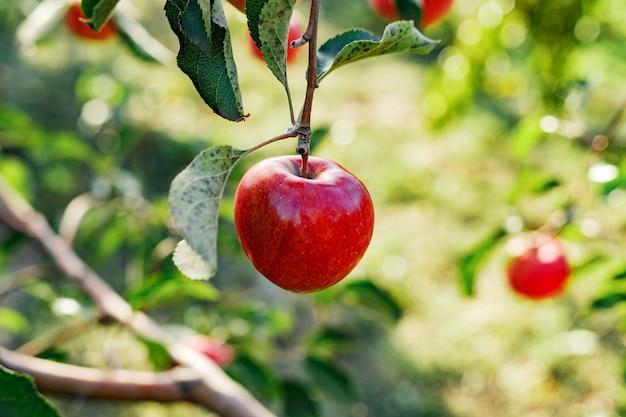 果樹園のリンゴの木の枝に美しいおいしい赤いリンゴ、収穫。外の庭で秋の収穫