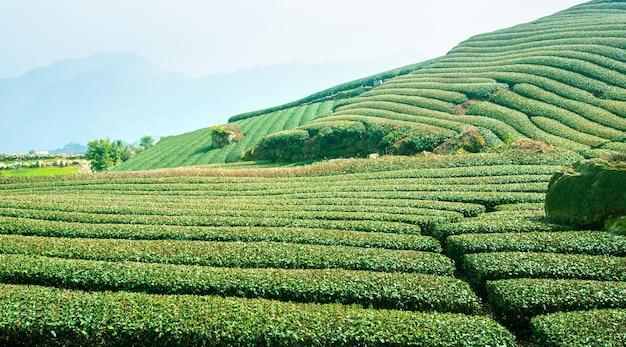 Красивая сцена рядов чайного сада, изолированная с голубым небом и облаком, концепция дизайна для фона чайного продукта, копировальное пространство, вид с воздуха