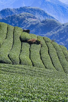 Красивая сцена чайного сада, изолированная с голубым небом и концепцией дизайна облака для чайного продукта