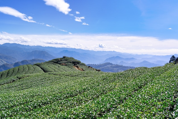 Beautiful tea garden rows scene isolated with blue sky and cloud, design concept for the tea product background, copy space, aerial view