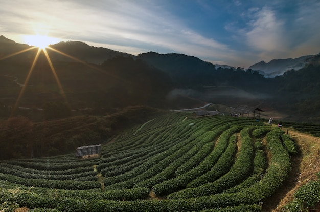 Beautiful tea plant 2000 when the sunrise time with fog and sun flare at doi angkhang, chiangmai pro