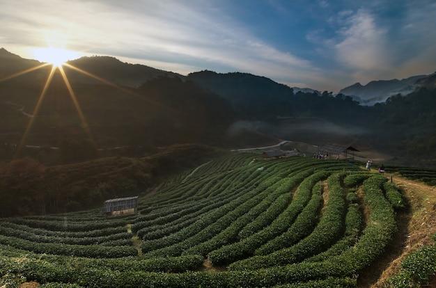 Beautiful tea plant 2000 when the sunrise time with fog