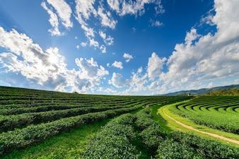 白い雲の青い空と太陽の光で美しい茶園。 Chiangrai prの観光名所