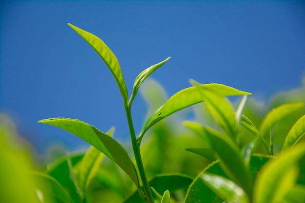 Красивые чайные плантации в южной азии