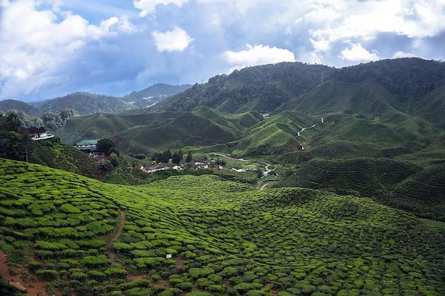 Красивые чайные плантации в горах малайзии. горный зеленый чай на склонах гор камеронского нагорья