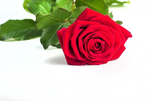 Красивый нежный красный цветок розы с стеблем, изолированные на белом фоне. концепция для поздравительных открыток на день матери 8 марта с копией пространства