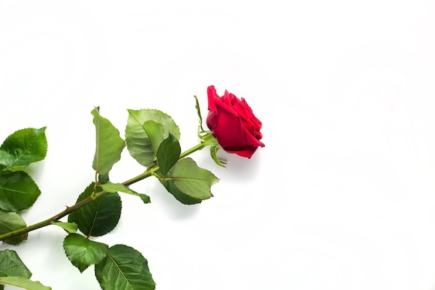 Beautiful tender red rose flower with stem isolated on white background. concept for 8 march mothers day wedding greeting cards with copy space