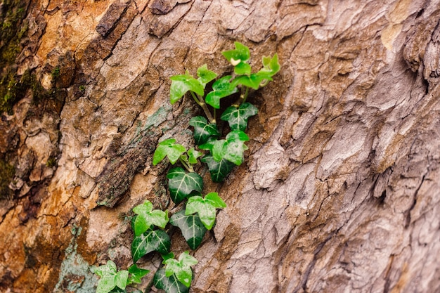 Beautiful textured tree bark with green fresh ivy