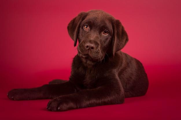 아름 다운 3 개월 된 래브라도 강아지 빨간색 배경에 고립 된 카메라를 향해 찾고 거짓말