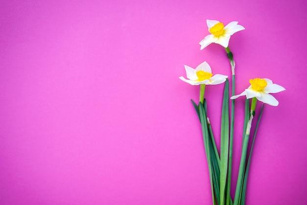 Красивые три белых с желтыми нарциссами на ярко-розовом фоне с копией пространства