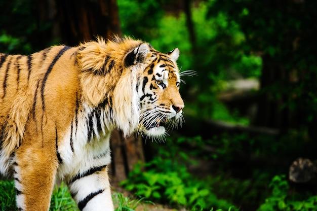 緑の芝生の上の美しい虎