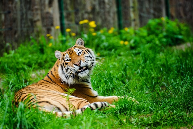 美しい虎、春の時間