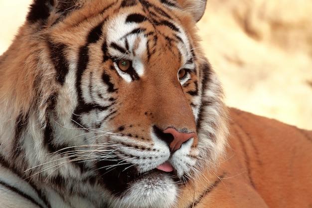 Beautiful tiger in zoo
