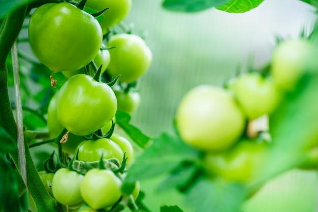 前景のコピースペース有機トマトの温室の枝にある美しいトマト植物