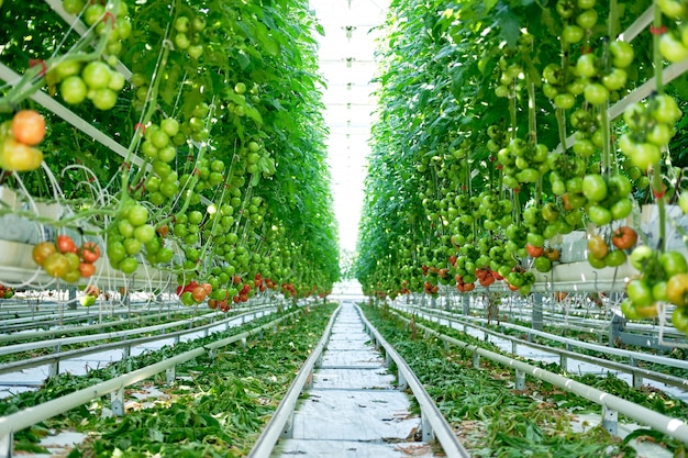 Beautiful tomatoes plants grown in greenhouse