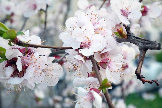 Красивое дерево цветение сакуры