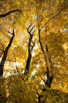 秋の公園、晴れた日、明るい日差しの中で黄色のカエデの葉を持つ美しい樹冠