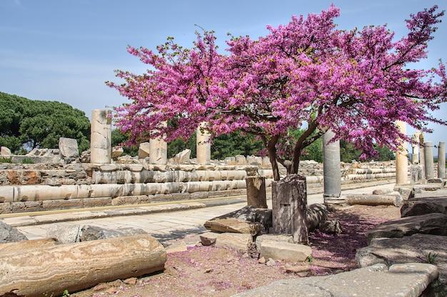 터키 고대 도시의 폐허에 분홍색 꽃이 핀 아름다운 나무