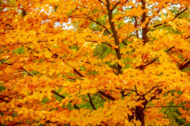 秋の公園の黄色の葉を持つ美しい木