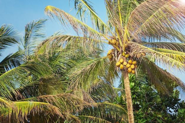 Beautiful tropical coconut palm tree on a sky background extreme closeup