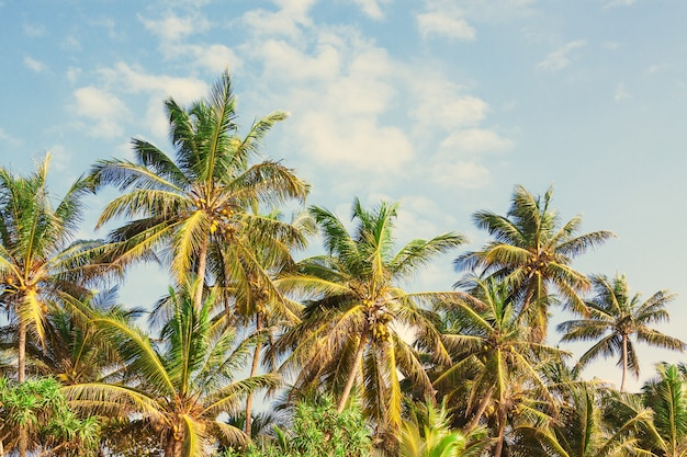 Beautiful tropical coconut palm trees on a sky background extreme closeup