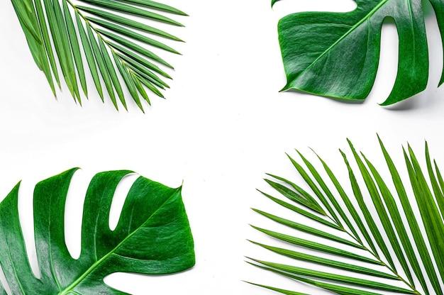白い背景で隔離の美しい熱帯のmonsteraの葉