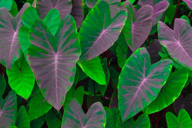Beautiful tropical nature green leaf caladium texture background