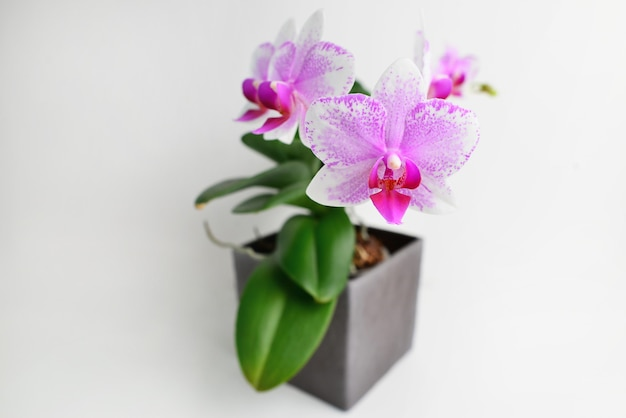 냄비에 아름 다운 열 대 난초 꽃