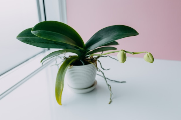 Beautiful tropical orchid flower with buds in white pot on table near color pink wall