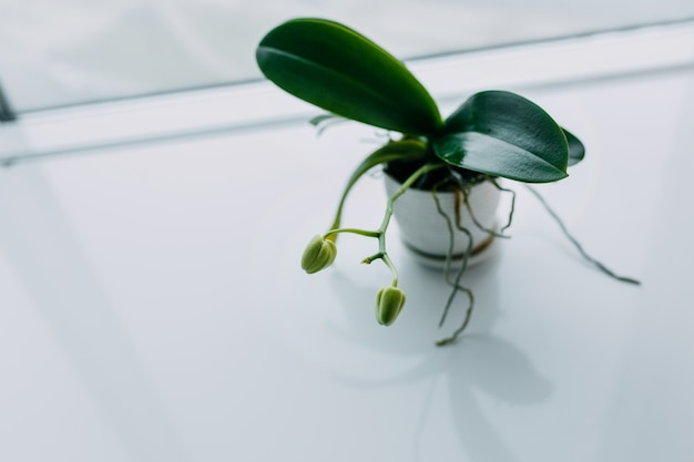 Beautiful tropical orchid flower with buds in white pot on table. space for text