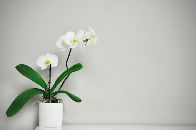 회색 배경에 냄비에 아름 다운 열 대 난초 꽃, 상위 뷰. 텍스트를위한 공간입니다.