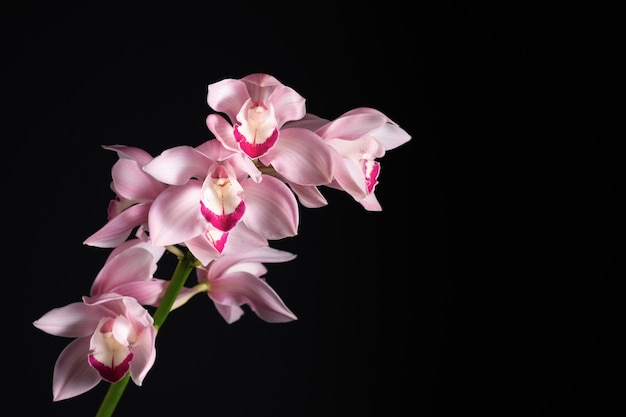 Beautiful tropical pink orchid on a black background, blank
